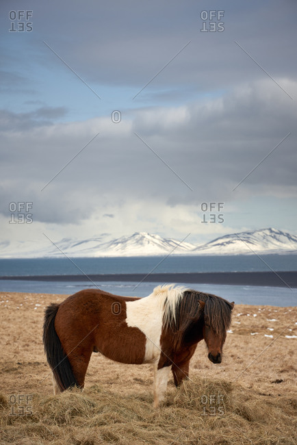 Icelandic pony grazing in grass