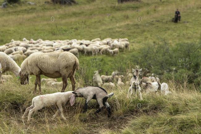 Domestic sheep grazing in a field