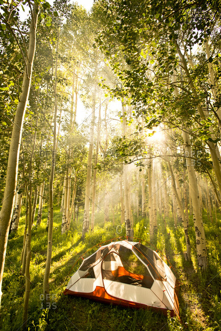 A tent sits in the morning sun of an Aspen grove