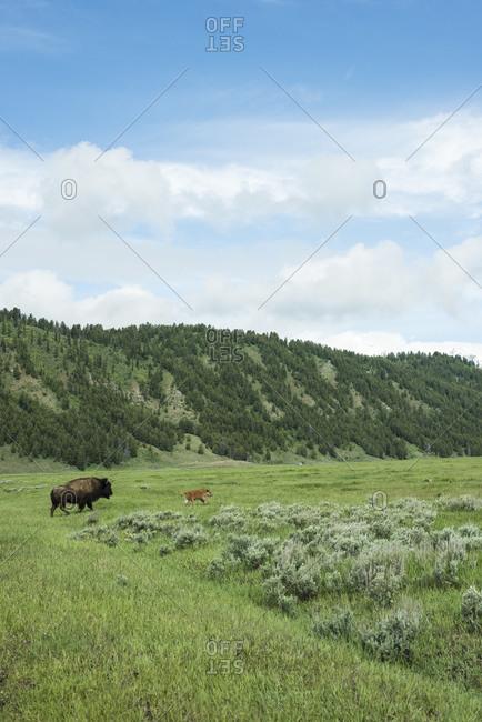 Bison and calf near Grand Teton National Park, Wyoming