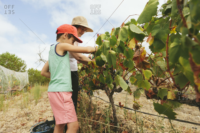 Grandmother teaches grandson to harvest wine grapes in the vineyards