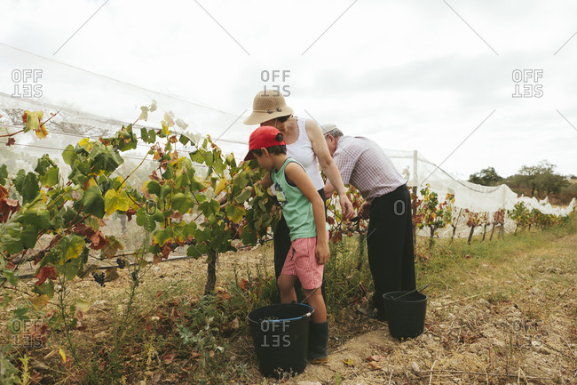 Grandmother and grandfather teaching their grandson how to harvest the grapes for wine in the vineyard