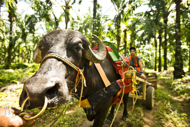 Costa Rica - June 15, 2015: An ox pulling a worker cart through an African Palm Oil Plantation in Costa Rica