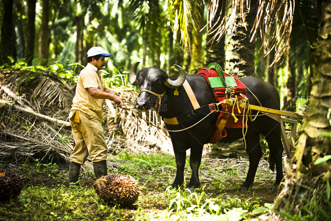 Costa Rica - June 15, 2015: A worker pulling an ox through an African Palm Oil Plantation in Costa Rica