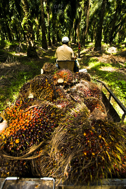 A worker driving a cart filled with palm oil fruit in Costa Rica