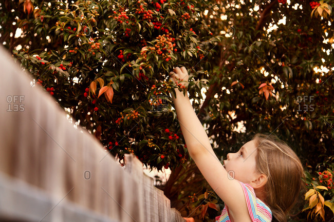 Girl picking red berries from a tree