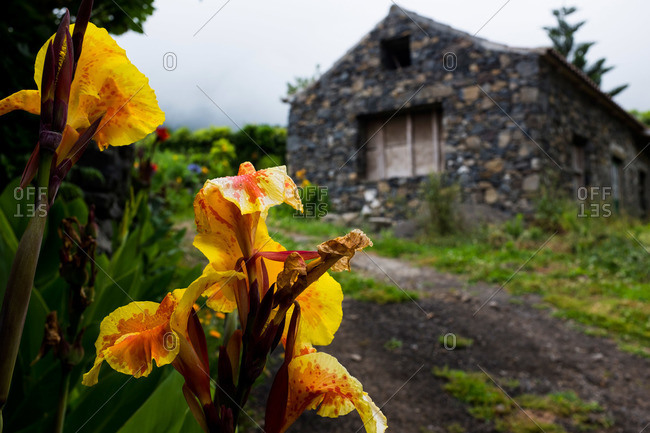 Yellow lilies and stone house at Fajazinha, Portugal