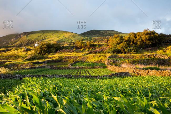 Crops growing in fields on Corvo Island, Portugal