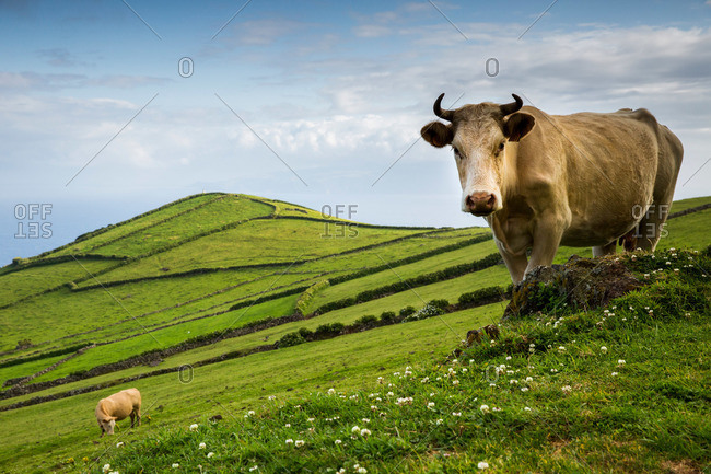 Cow standing on rolling green hills, Corvo Island, Portugal