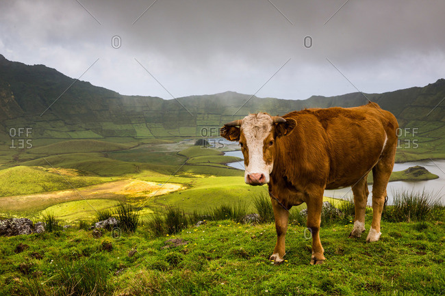 Cow standing on a hill above Corvo Cauldron, Portugal