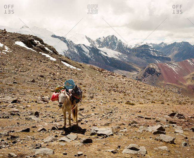 Mule carrying gear at Ausangate in the Andes Mountains of Peru