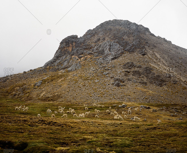 Herd of alpacas grazing at Ausangate in the Andes Mountains of Peru