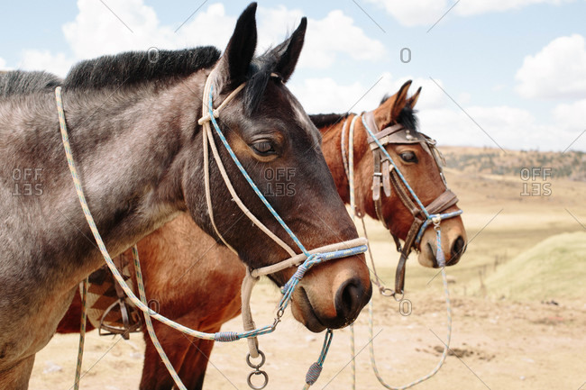 Horses in the Andes Mountains of Peru