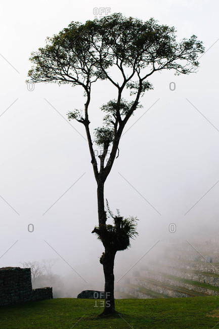 Tree growing in fog covered Machu Picchu, Peru