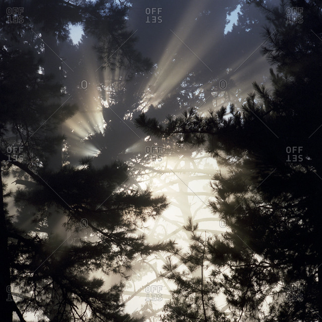 Sunlight streaming through pine branches