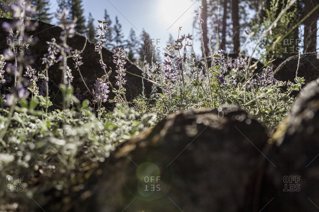 Wildflowers in Yosemite National Park