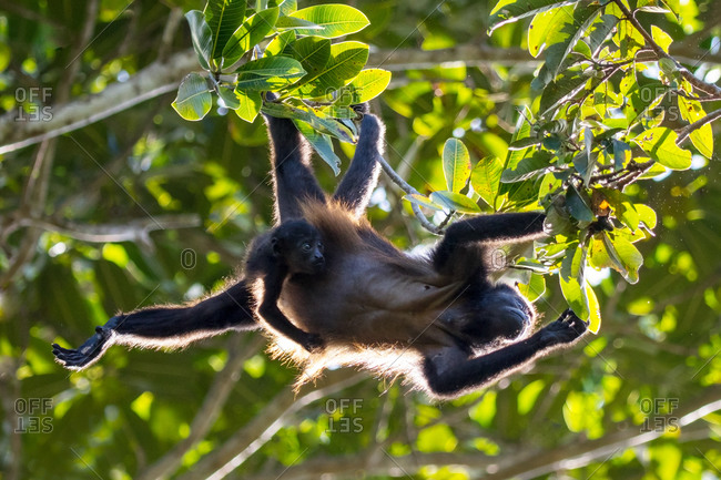 Howler monkey and infant in tree