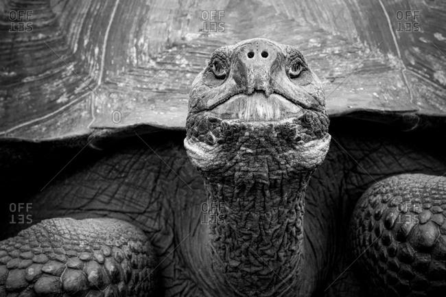 Giant tortoise, Galapagos, Ecuador