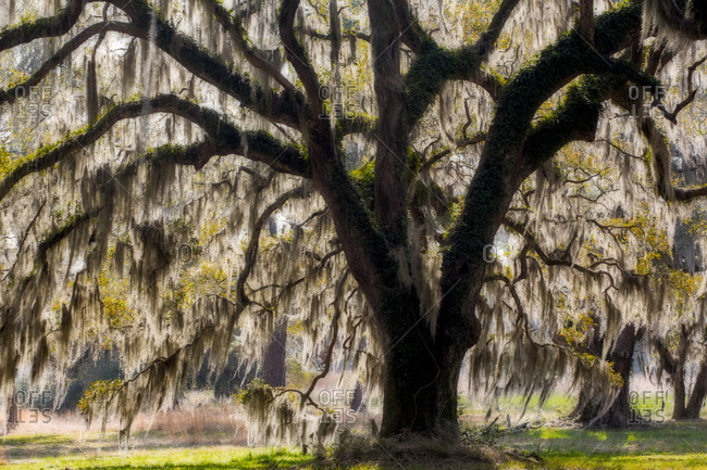 Oak tree with Spanish moss, South Carolina