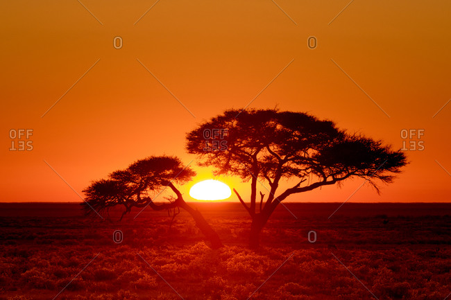 Sunrise through an Acacia tree, Namibia
