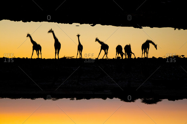 Giraffes reflected in water, Namibia
