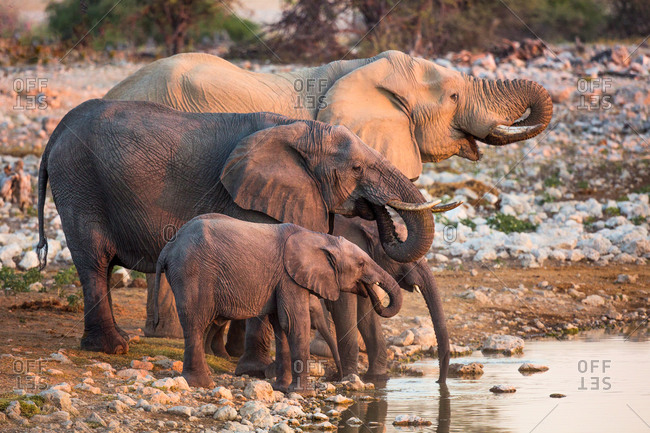 Family of elephants drinking, Namibia