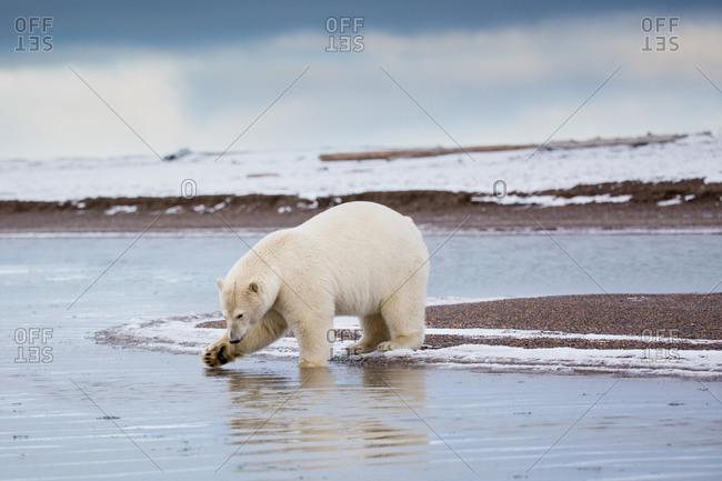 Polar bear at water, Alaska