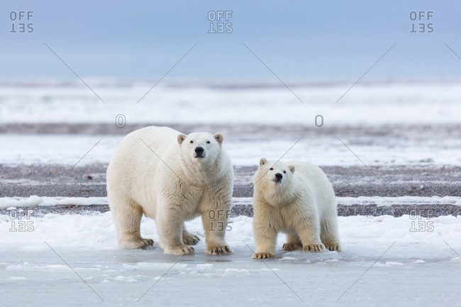 Two polar bears in Alaska