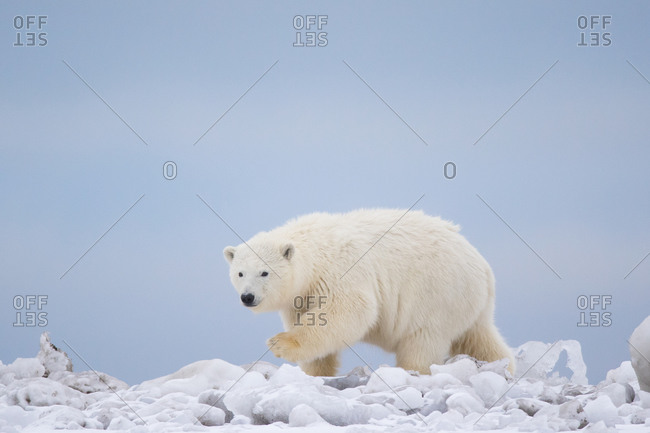 Polar bear stepping, Alaska, USA
