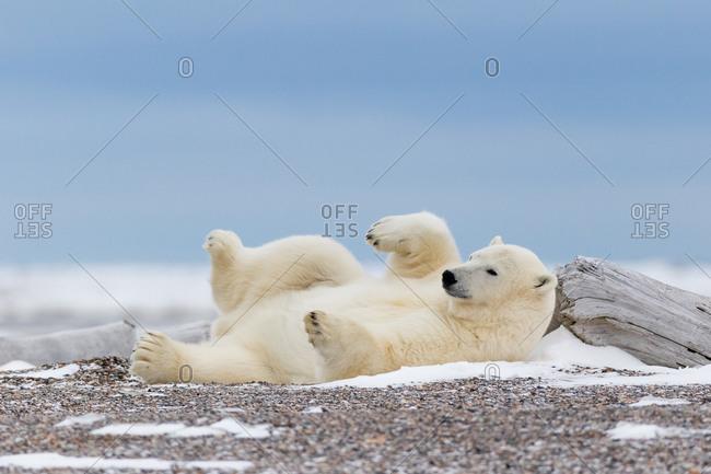 Relaxing polar bear, Alaska