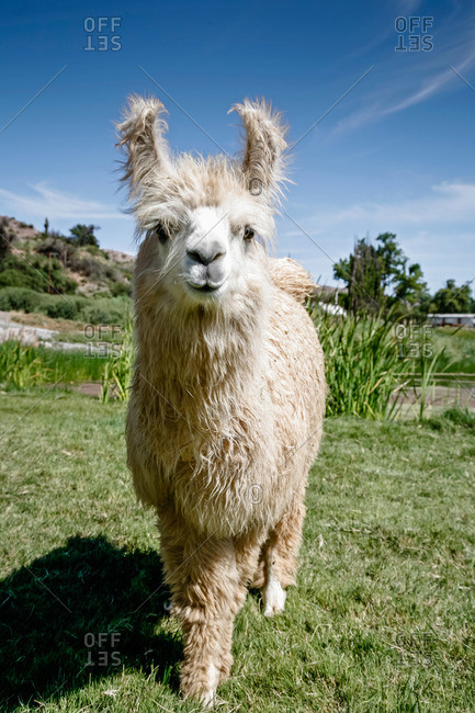 Llama in Jujuy Province, Argentina