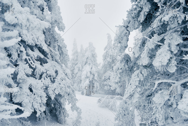 Path among snowy spruce trees