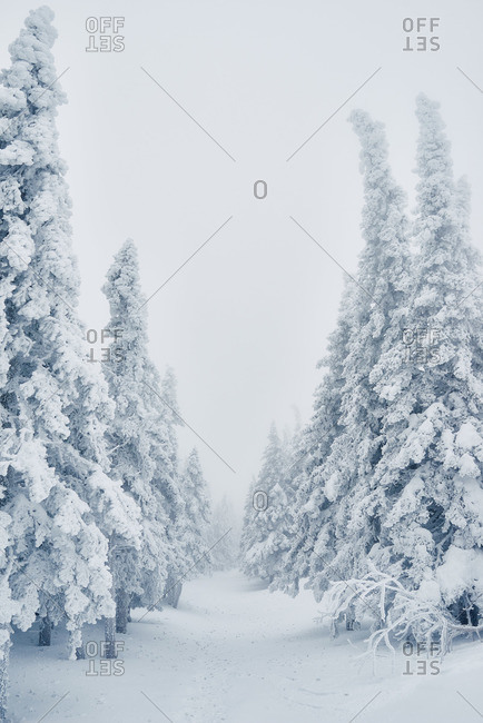 Row of snowy spruce trees