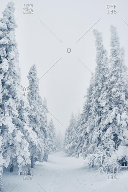 Row of snowy spruce trees