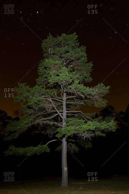 Lone pine tree at night, Troy, NC