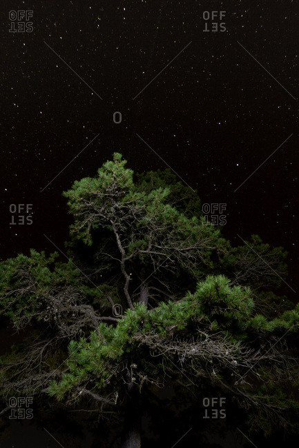 Boughs of a pine tree against a night sky, Troy, NC