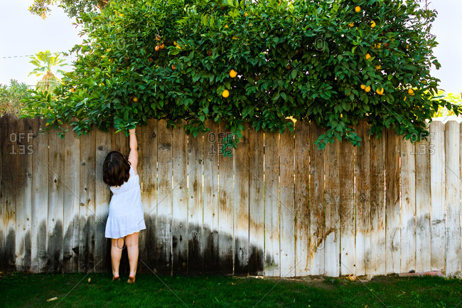 Child picking neighbor's fruit