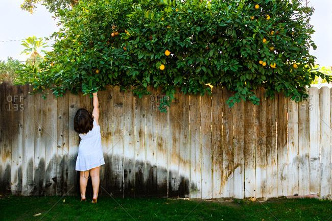 Child picking neighbor's fruit