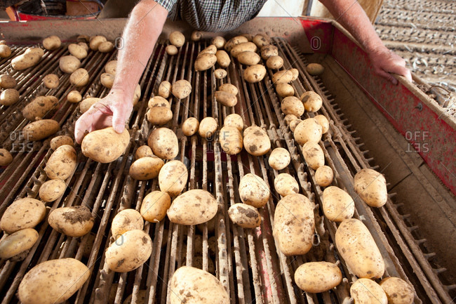 Farmer inspecting potatoes on conveyor belt