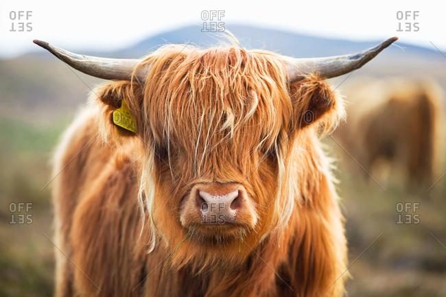 Close up of Highland cattle on Scottish moor