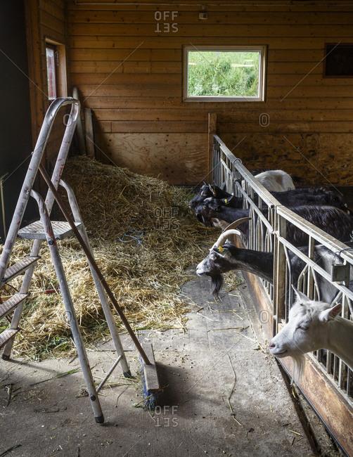 Goats at the Lofoten G�rdsysteri, an organic farm in Saupstad, Lofoten Islands Norway