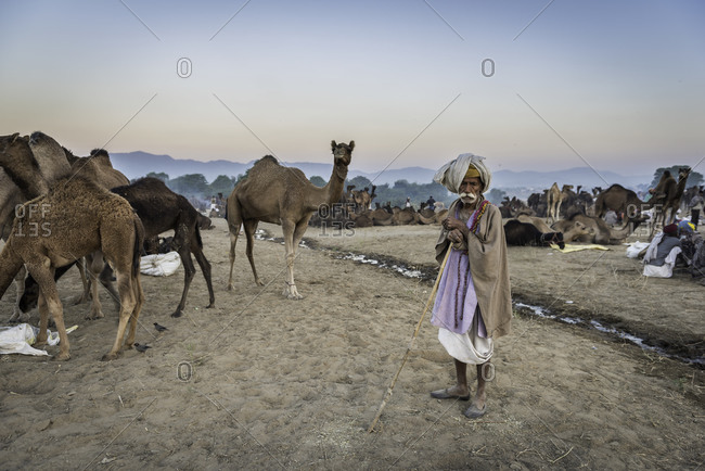 Rajasthan, India - November 19, 2015: Elderly man standing among camels at dusk in Pushkar, India