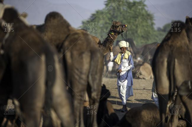 Rajasthan, India - November 19, 2015: Man standing with a camel at the Pushkar Camel Fair, India