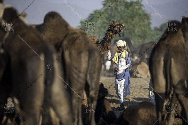 Rajasthan, India - November 19, 2015: Man standing with a camel at the Pushkar Camel Fair, India