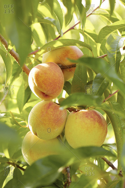 Close up of peaches ripening on tree