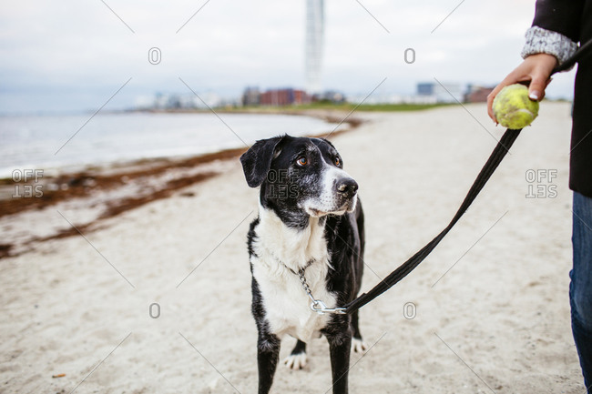 Dog looking at tennis ball in hand