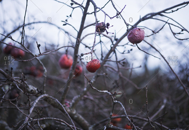 Crab apples withering on branches in winter