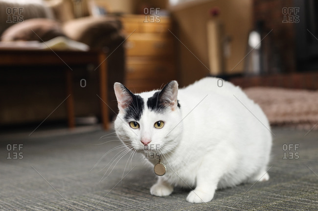 Portrait of a white cat with black ears