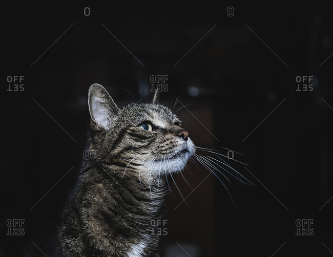 Portrait of a short haired cat