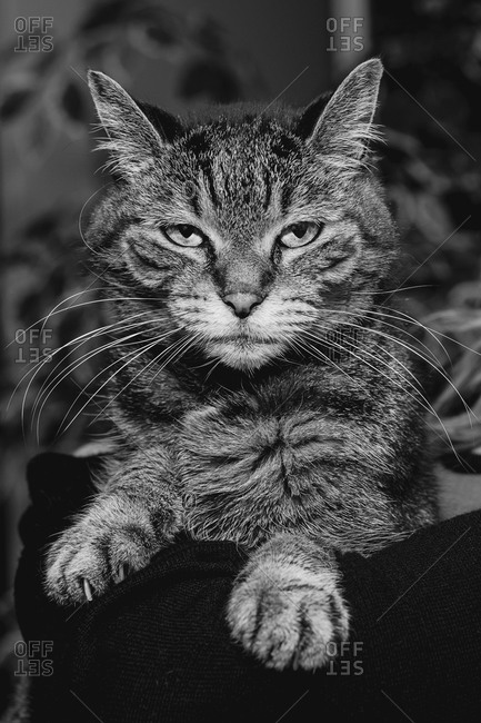 Portrait of a striped short haired cat